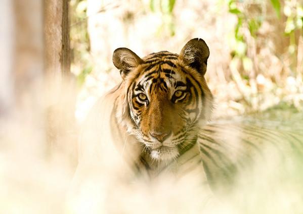 India 2011 - Tigers II