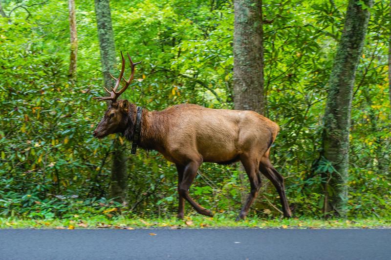 A bull elk walks along US 441 in Great Smoky Mountains National Park,  September 27, 2018. (Joseph Forzano / Deep Creek Films)