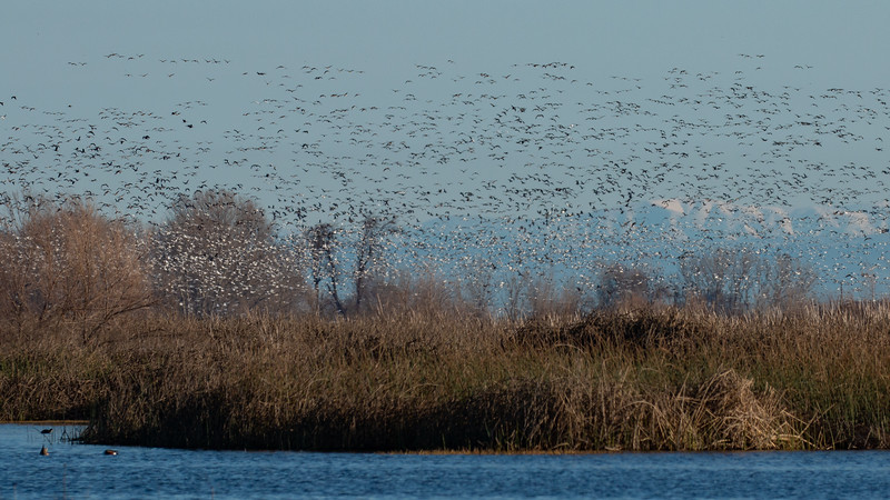 Geese Flying Over the Refuge