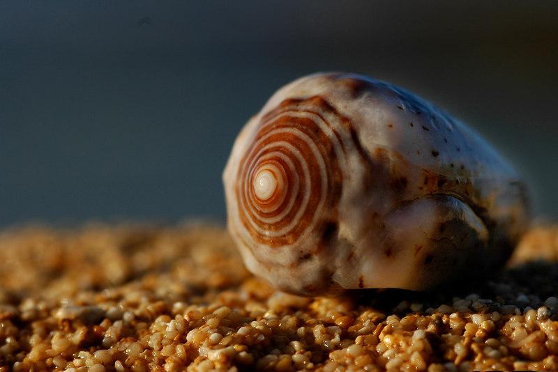 Seashell washed up onto the beachNorth Shore, Oahu, Hawaii