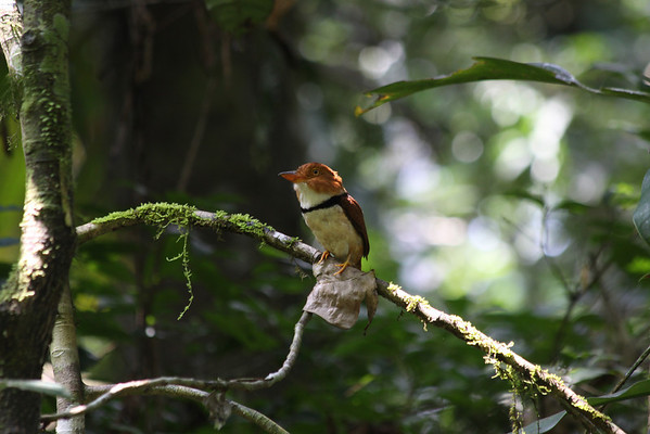 Puffbirds (Bucconidae)