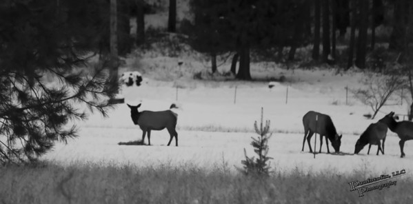 Field Elk - January 22, 2012