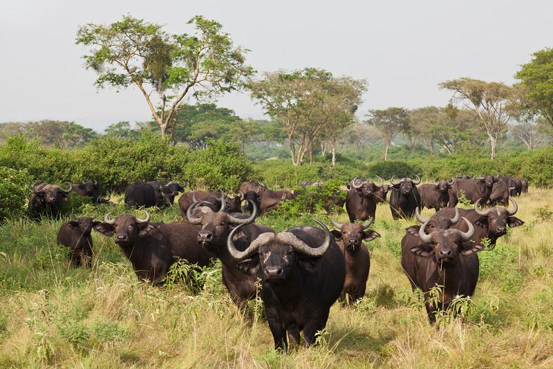 Water Buffaloes / Wasserbüffel