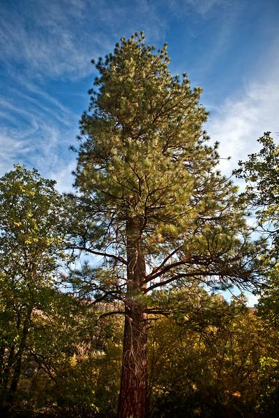 PinesRGB.jpg