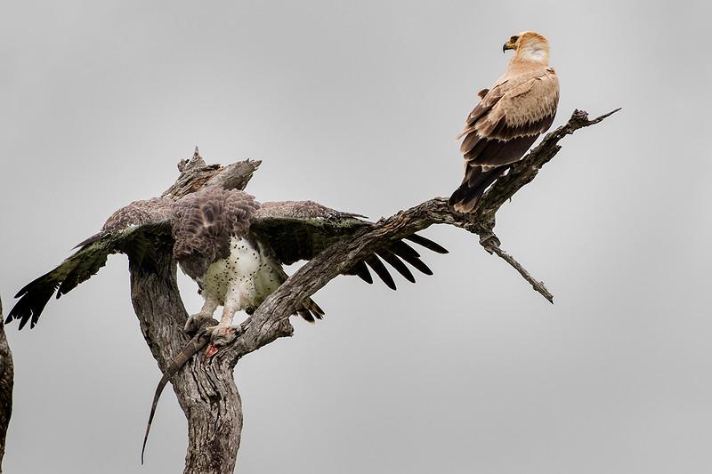 Martial Eagle Defending Prey