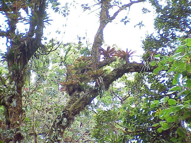 Bromeliads at Savegre Mountain Lodge Costa Rica 2-14-03 (50898066)