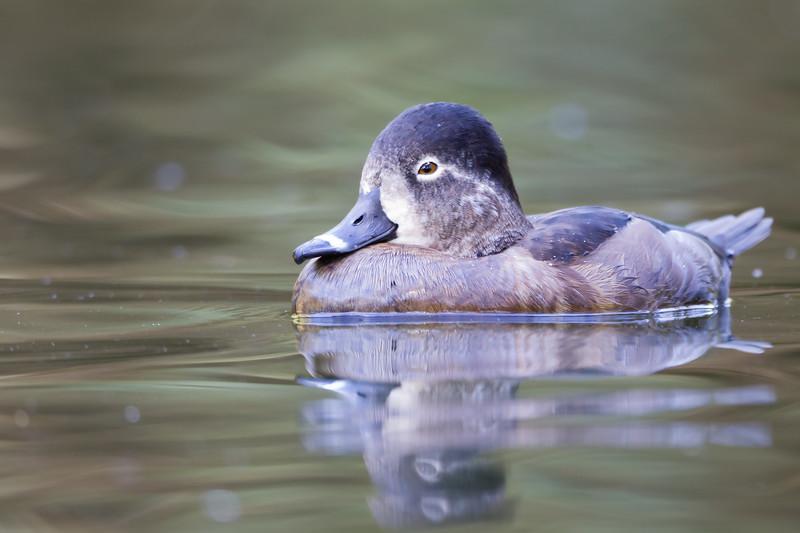 Ring-necked Duck - Female - San Francisco, CA, USA