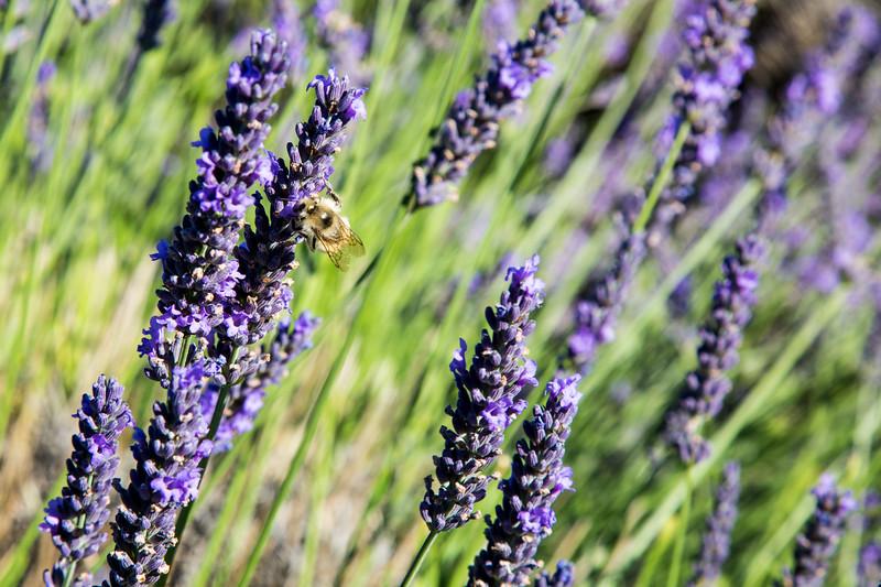 Evergreen Lavender Farm-22.JPG