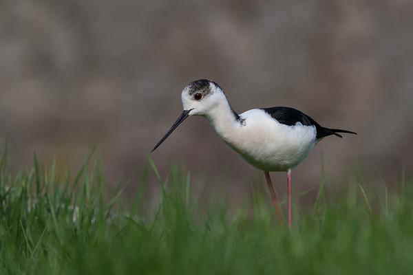 Other Shorebirds