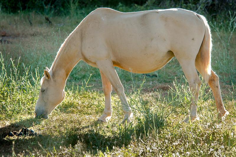 White Wild Horse Grazing