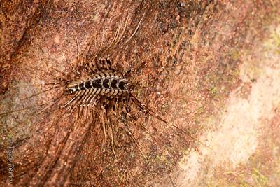 INSECT - centipede jungle-1856