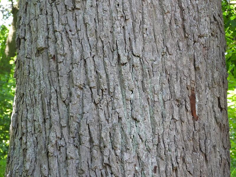 Cucumber-Tree (Magnolia acuminata)