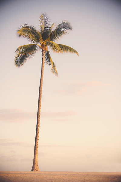 Hawaii Palm