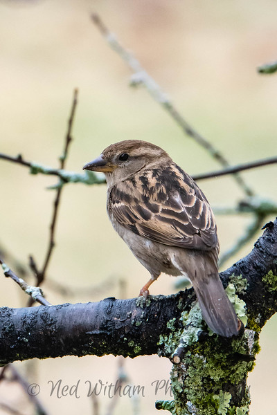 Female Purple Finch.jpg