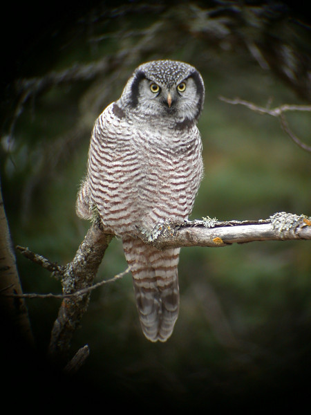Owl - Northern Hawk - St. Louis County, MN - 01