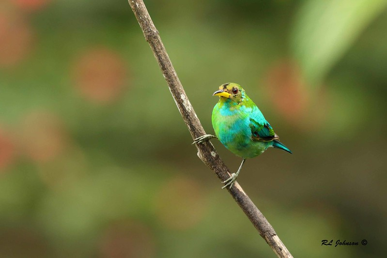 Green Honeycreeper - juvenile