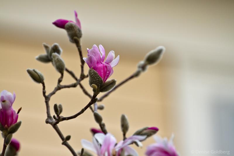 early magnolia