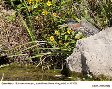 Green Heron A75769.jpg