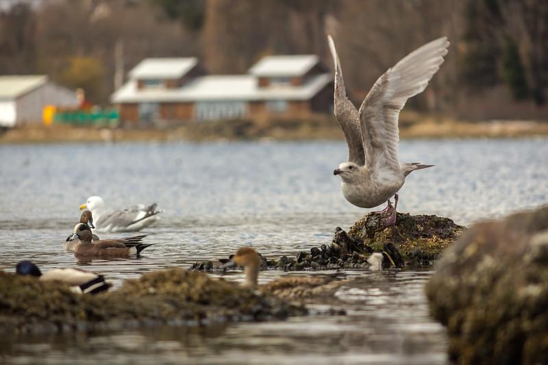 gull taking off.jpg