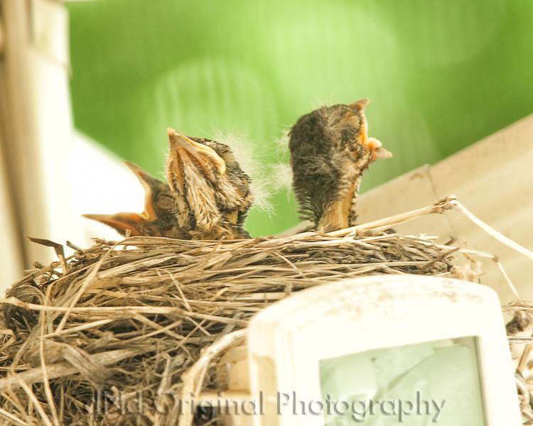 049 Baby Robins Spring 2013.jpg