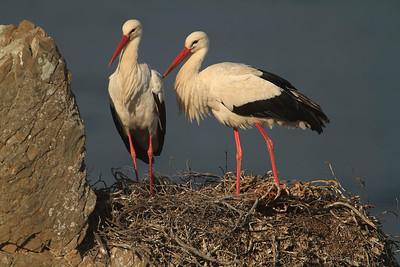 White Stork (Cigüeña blanca)