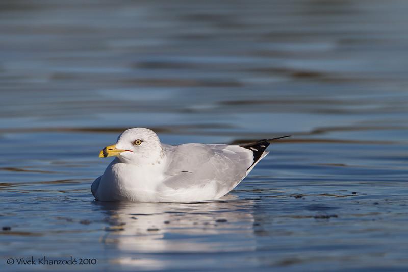 Ring-billed Gull - Shoreline Park, Mountain View, CA