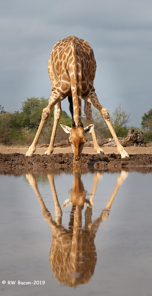 Giraffe Symetry.jpg