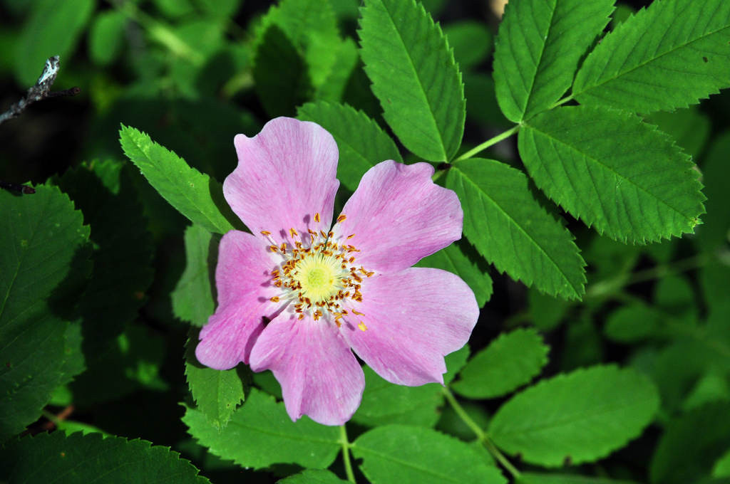 . A wild rose blooms inside Woodland Caribou Provincial Park. Lady slippers, lilies and orchids were among the flowers observed. Berries were just beginning to fruit during the first week of July.