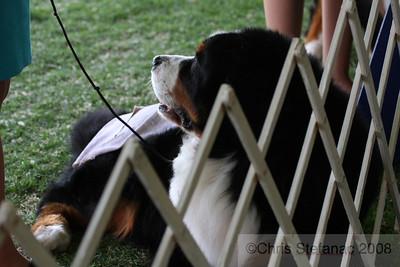 Veteran Dogs 7-9yrs BMDCA 2008