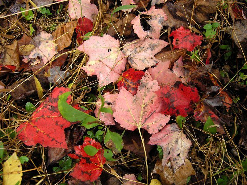 Red Leaves, Rock Creek Park, Rockville Maryland - October 2004
