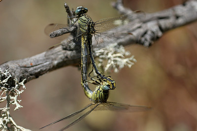 Dragonflies and damselles