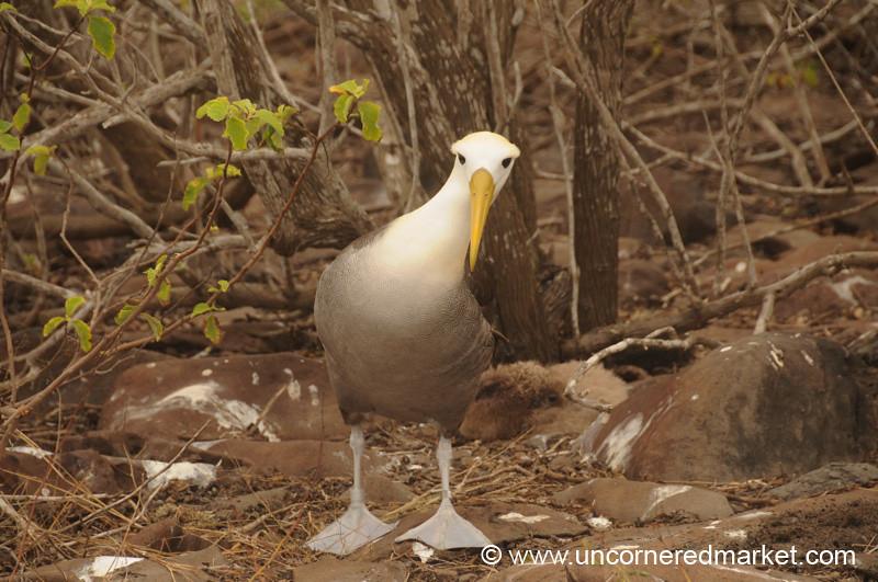 Albatross Dance Move - Galapagos Island