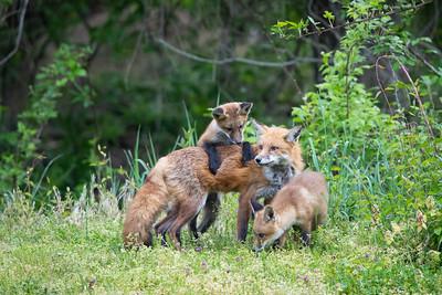 Nob Hill Foxes & Birds