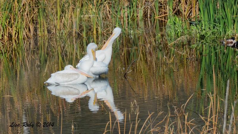 American White Pelican - 1/2/2015 - Lake Hodges, southeast trail (south of footbridge)
