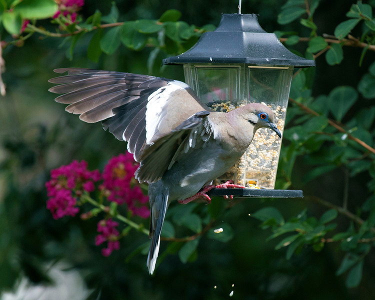 Dove making a dramatic landing on the bird feeder