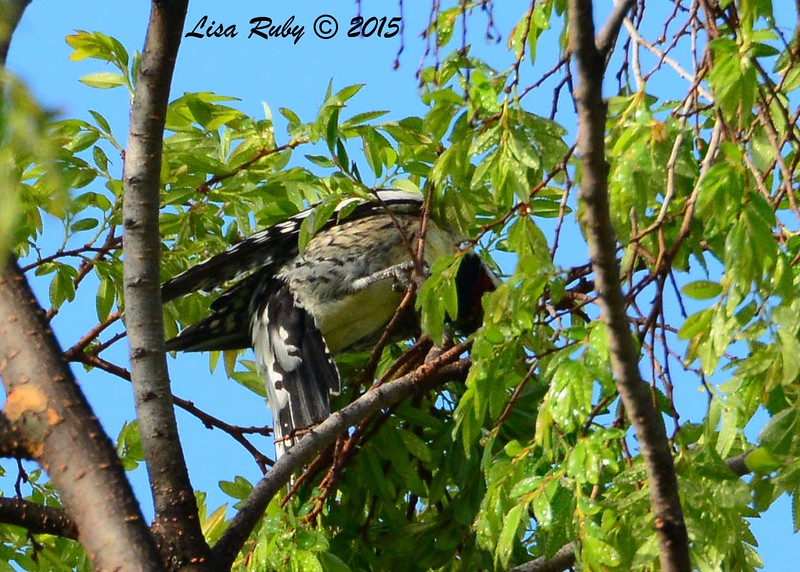 Yellow-bellied Sapsucker - 2/17/2015 - Collier Park, Ramona