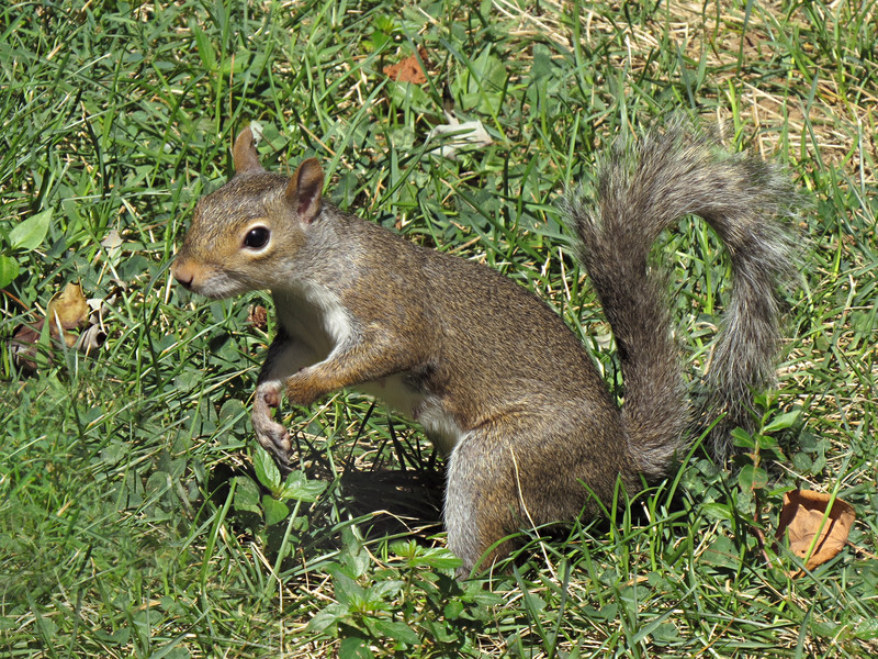 sx50_squirrel_fauna_184.jpg