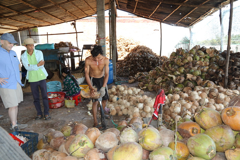 Dehusking coconuts - first step in coconut processing.
