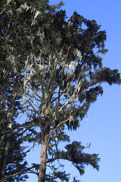 More lichens hanging like lace curtains from the trees.jpg