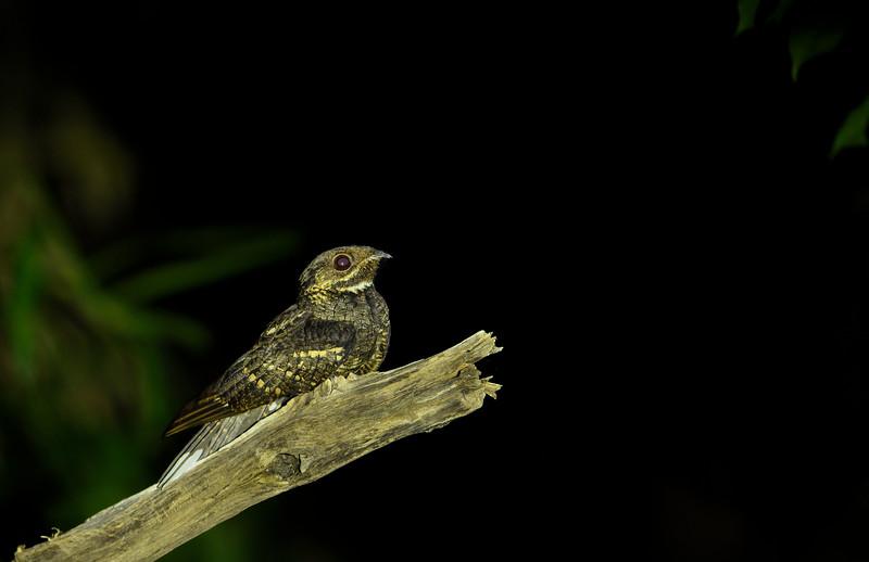 Andaman-Nightjar.jpg