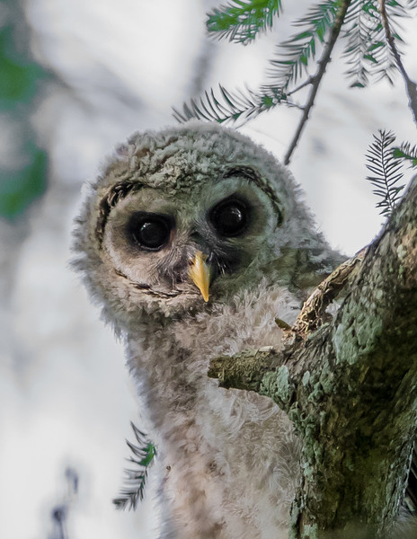 Barred Owl Chick-6945.jpg
