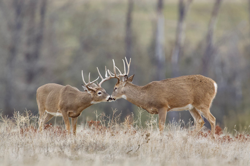 Whitetails in the Wild IMP - 1 (16).jpg