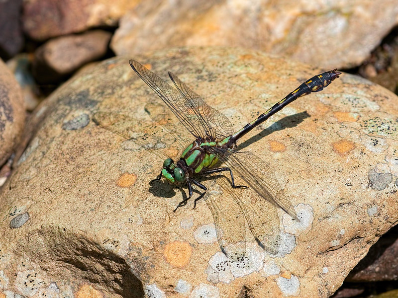 Maine Snaketail (Ophiogomphus mainensis) ??, Male