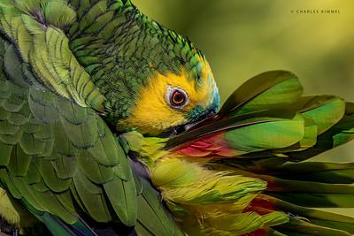 Panamanian Parrot: 2020