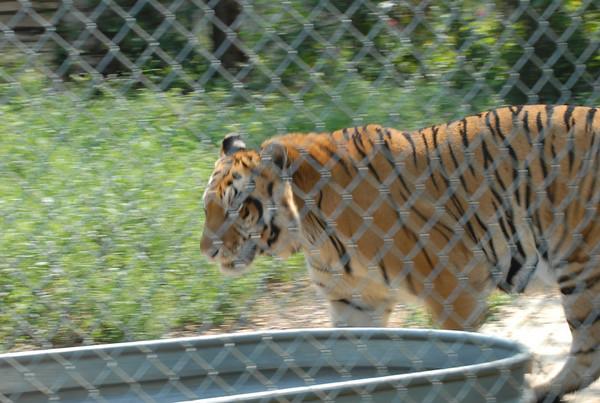 C.P.Tigers