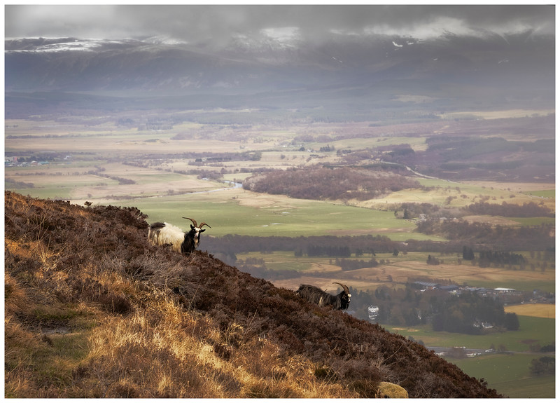 Feral Goats on Creag Dhubh