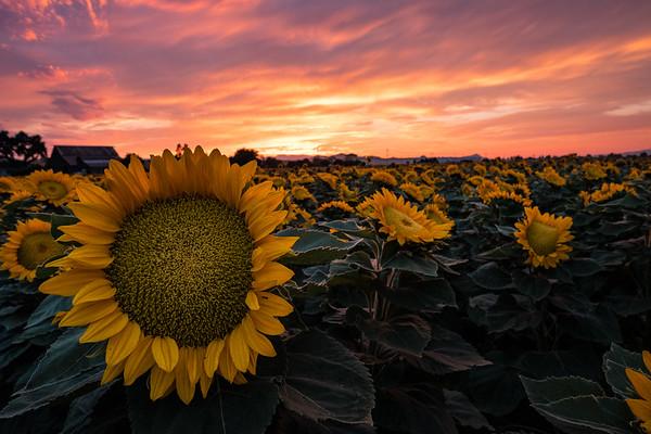 Gilroy Sunflowers (2017-08-02)