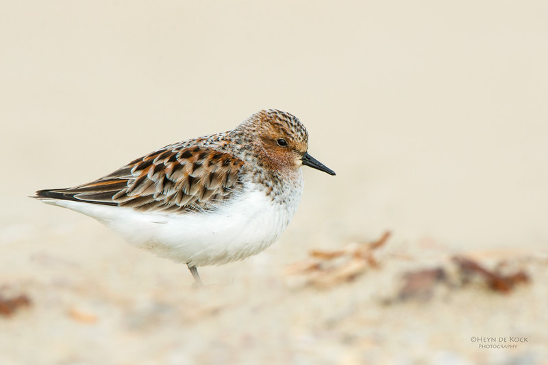 Red-necked Stint, Shoalhaven Heads, NSW, April 2015.jpg