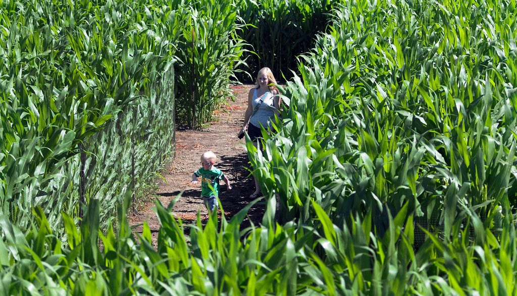 . A young boy runs through the corn maze.  Underwood Family Farms in Moorpark, CA hosted its Friends of the Farm weekend, launching its Fall Harvest Festival, which runs through Halloween.  The Saturday, September 28, 2013, event benefits the Ventura County Sheriff\'s & Fire Departments.  (Photo by Dean Musgrove/Los Angeles Daily News)