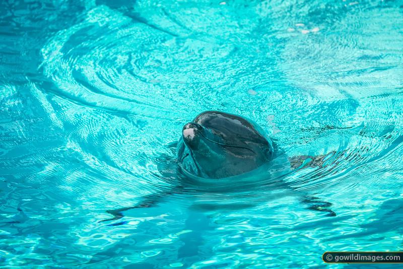 Captive dolphin, Sentosa